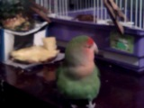 Дуся и Шуня кушают ананас.