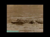 BBC «Жизнь животных: Плотоядные - Крокодил» (Документальный, 1997)