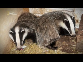 National Geographic Wild Unlikely Animal Friends S01E04 CONVERT 480p HDTV x264-mSD