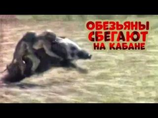 Обезьяны спасаются от африканских охотников верхом на кабане.