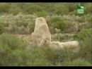 Белые Львы Цâрь Цâрей ☆ ►Дикâя Природâ Фильм◄