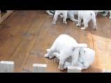 Щенки Бони и Сассо. 1,5 месяца