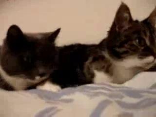 2 кота мило разговаривают. Обмениваются мявками, курнявкают