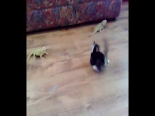 kitten and lizards mosh