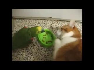 Попугай мешает коту есть