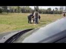Собачьи бои аляскинский маламут vs кане корсо