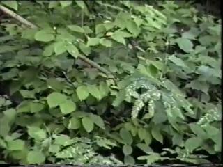 Корневщики капают дикий женьшень
