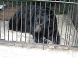 Черный медведь Барибал по имени Доминик