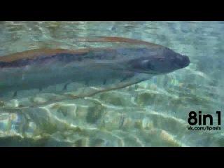 Очень редкая рыба Сельдяной король в Калифорнии, США / Are these oarfish in Mexico predicting an earthquake? Tourists film TWO live oarfish trying to beach themselves