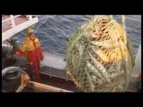 Галилео Как добывают рыбий жир в Норвегии