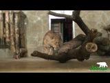 Львица Тася в новом вольере
