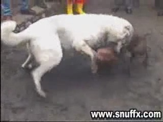 собачьи бои питбуль VS кангал (карабаш)