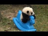 Panda baby playing on Pony 2013 December -Панда решил покататься на игрушечной лошадке!!!