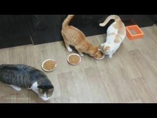 Нарезка из самых смешных видео с котами )