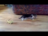 КОТЁНОК охотится на ОГРОМНЫХ ЯЩЕРИЦ ! XDD ( коты котята кошки кошеня кошенята воран хамелеон ящерицы ящерица ящірка ящірки прикол ахаха )