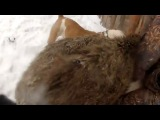 собачьи бои американский бульдог лайка и кабан
