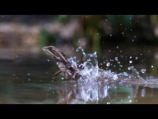Удивительная природа. Ящерица - Иисус Христос. BBC Life