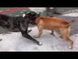 Собачьи бои  булли кутта VS питбуль