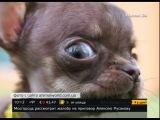 Самой маленькой собакой в мире признана чихуахуа по кличке Милли