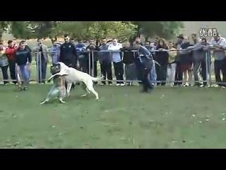 собачьи бои кангал vs алабай