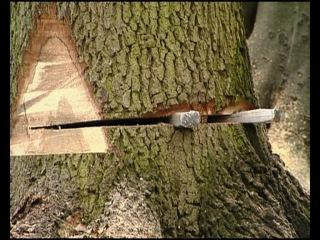 Техника безопасности при работе с бензопилами STIHL. Правила валки деревьев.