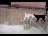 собачьи бои волкодав и дворняга