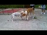 собачьи бои аргентинський бульдог vs алабай