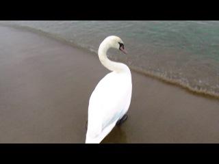 Лебединый рай (Гданьск, Польша, берег Балтийского моря)