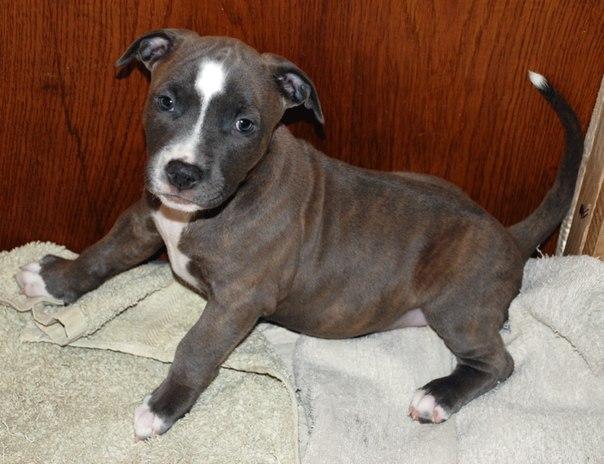 щенок питбуля 2 месяца фото