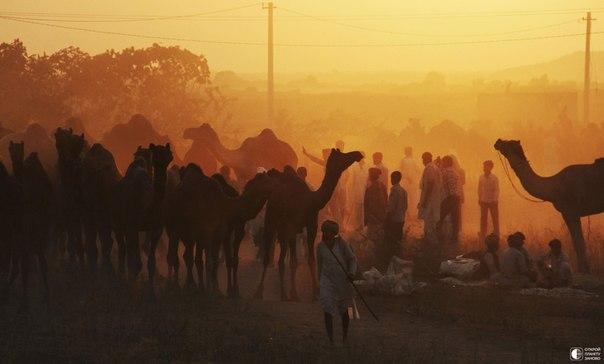 Ярмарка верблюдов в Пушкаре, Индия