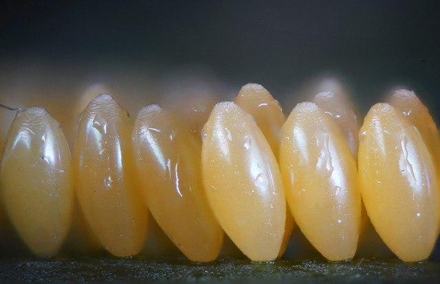 Linden Gledhill. Яйца насекомых