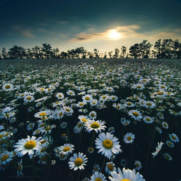 Ромашки в лунном свете. Крым. Автор фото: Юрий Коваленко. Спокойной ночи.