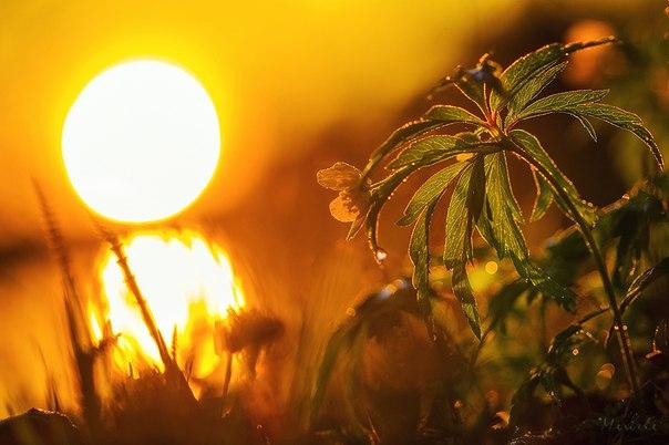 Ветреница в лучах заката. Автор фото — Марина Мурашова