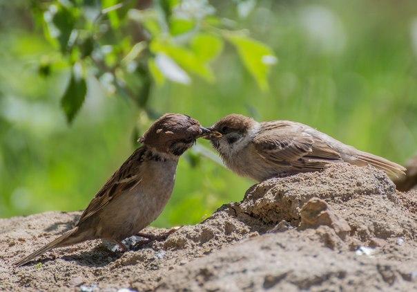 Фото дня. «Поцелуй». Автор фото – hackan:
