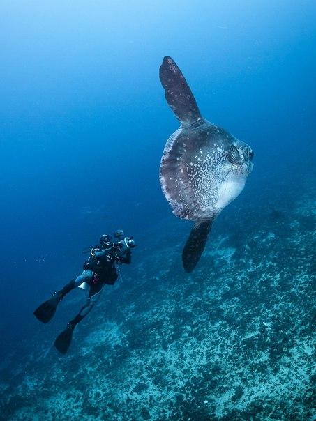 «Гигант из глубины». Луна-рыба. Автор фото – Алексей Зайцев:
