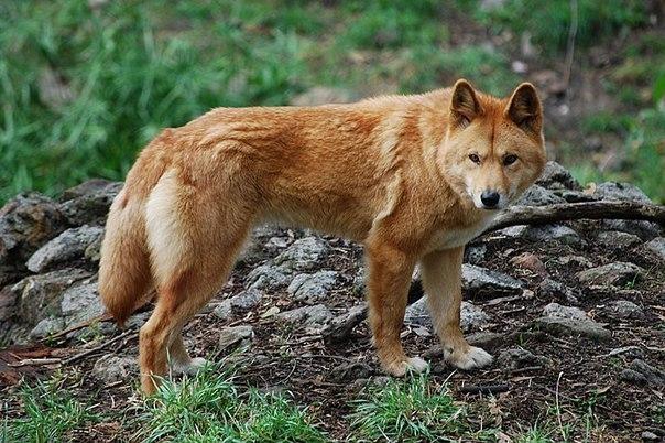 Собака динго очень преданная, она будет служить хозяину до конца дней, а если у её хозяина есть ребёнок, она будет играть с ребёнком и охранять до последнего.