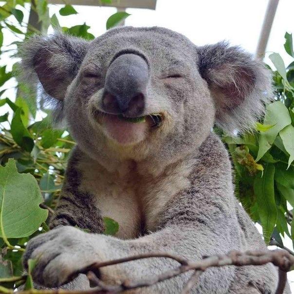 Самая счастливая коала