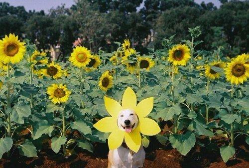 """Знакомьтесь, эту собаку зовут Глута Правда, её владелец любит называть её самой счастливой собакой в мире. Учитывая историю собаки, взятой с улицы, победившей рак и сейчас живущей там, где она счастлива и купается в любви, думаем, это имя ей подходит гораздо больше! Вот история Глуты (Рассказывает хозяин): """"В октябре 2012-го года я обнаружил у нас в общежитии (в Таиланде) бродячую собаку. Она была очень славная и невероятно аккуратная, поэтому я ежедневно стал её подкармливать, а потом и…"""
