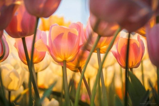 Тюльпаны. Автор фото: Анастасия Алексеева. Поделитесь своими весенними снимками в комментариях к этому посту!