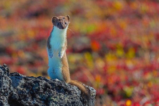 «Любопытство». Горностай в природном парке «Ключевской», Камчатка. Автор фото — Денис Будьков
