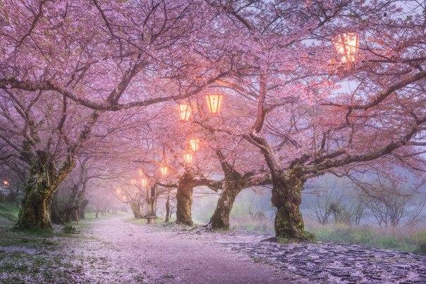 «В Осаке сакура почти вся уже розовым снегом спустилась с крон деревьев на землю, от ливней и ветра», - автор фото Даниил Коржанов.