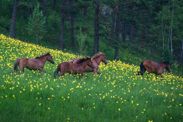 «На цветочных полянах Алтая»