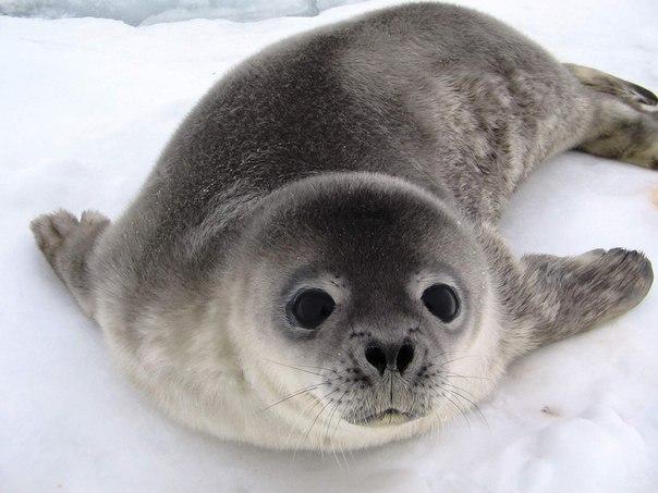 Новорожденный тюлень. Залив Прюдс, Антарктида. Автор фото — Сергей Коробов: nat-geo.ru/photo/user/198751/