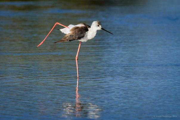«Танцор». Ходулочник. Национальный парк Серенгети, Танзания. Автор фото — Кирилл Трубицын: nat-geo.ru/photo/user/50918/