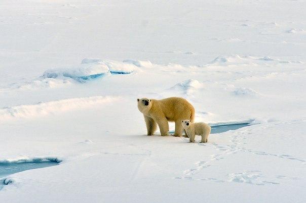 Сергей Земнухов, автор фото: «Мама с Умкой ждут еще одного детеныша (за кадром), который немного отстал».