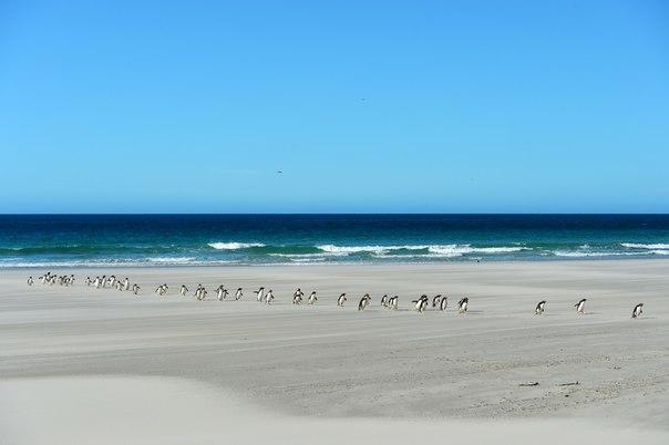 «33 богатыря». Колония пингвинов выходит из моря после кормежки. Антарктический полуостров. Автор фото — Сергей Земнухов: nat-geo.ru/photo/user/201961/