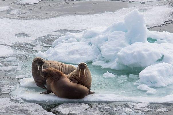 «Четвёртый — лишний!» Моржи, Баренцево море. Автор фото — Дмитрий Лобусов: nat-geo.ru/photo/user/119211/