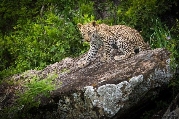 Котёнок леопарда. Национальный парк Серенгети, Танзания. Автор фото — Кирилл Трубицын: nat-geo.ru/photo/user/50918/