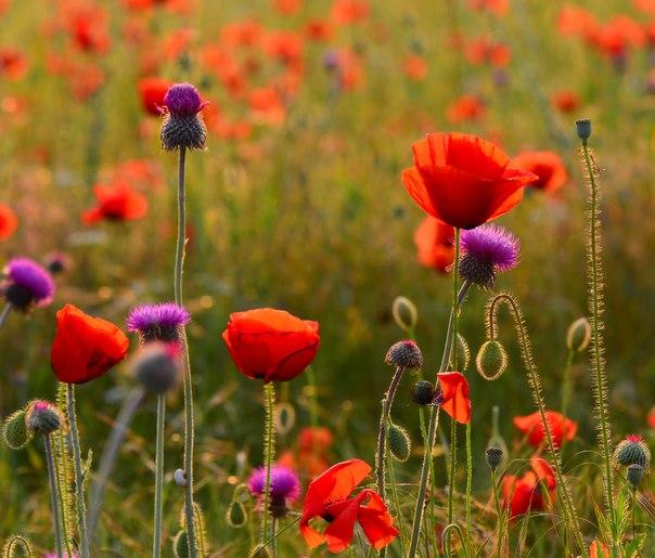 Цветущее маковое поле. Автор фото — Ростислав Машин: nat-geo.ru/photo/user/15478/