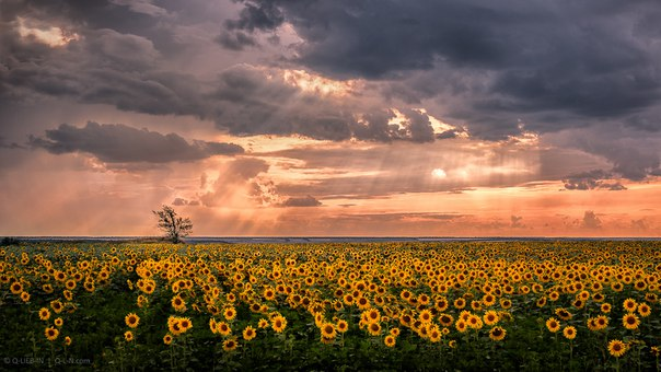 Поле подсолнухов в Одесской области. Автор фото — Евгений Q-lieb-in: nat-geo.ru/photo/user/52530/